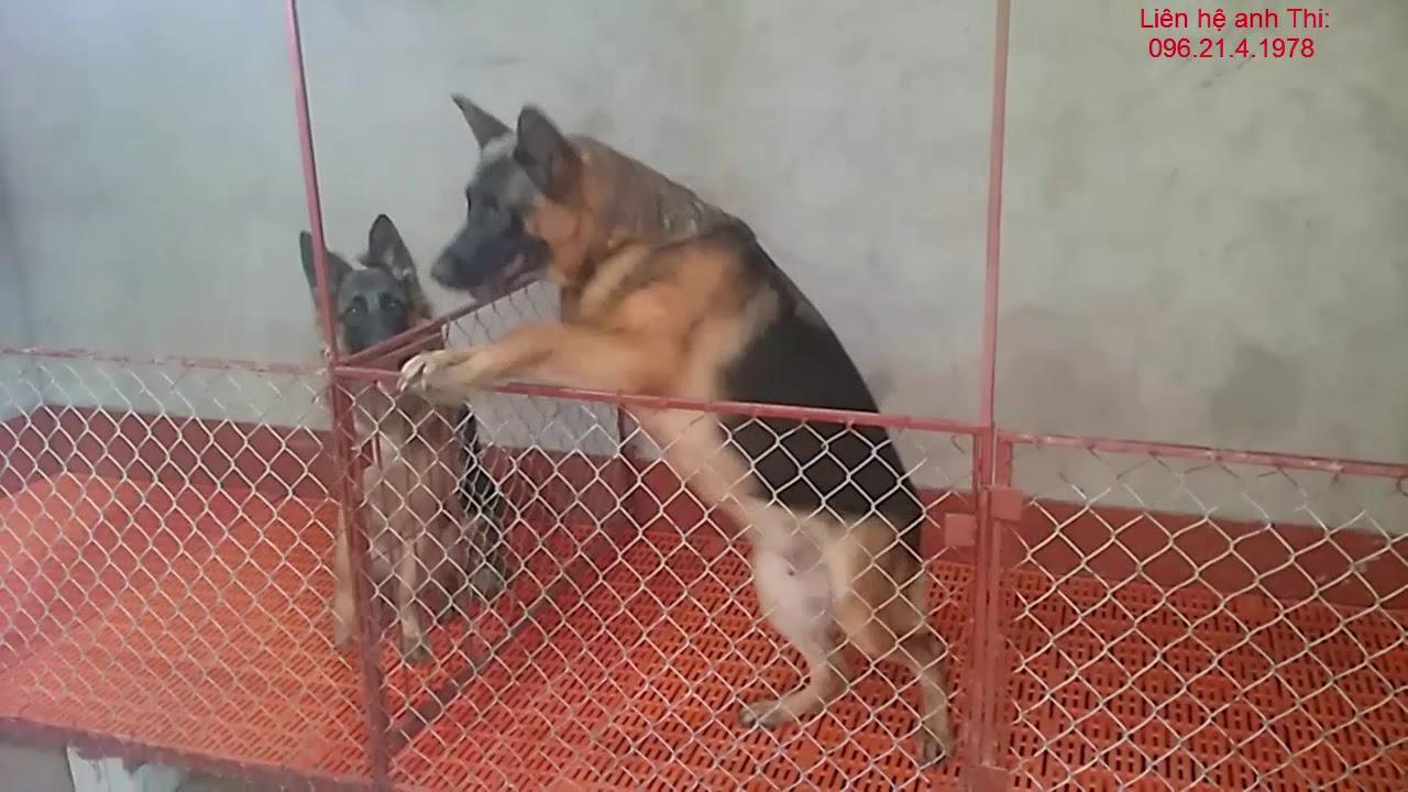 Chó becgie con, Bán chó becgie con F1, Dịch vụ chạy đực cho chó cái, Trại chó A Thi