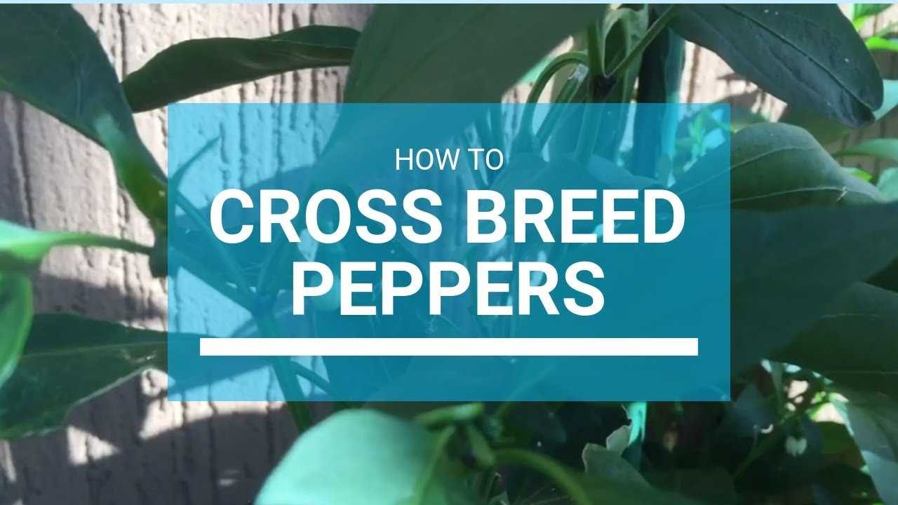 How To Cross Breed Peppers Outside