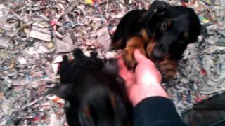 Kimbertal Puppies
