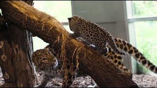 Потехе — полчаса: детёныши дальневосточного леопарда играют перед посетителями зоопарка в Вене