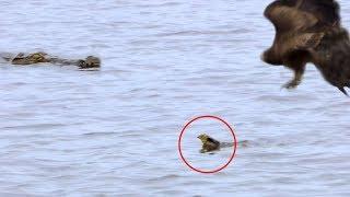 Baby Bird Leaves Nest, Survives Hawk, Gets Eaten by Crocodile