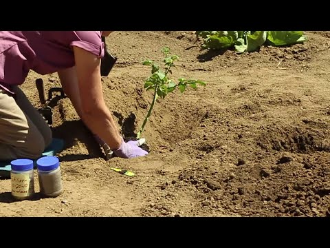 OSU Master Gardeners: Planting Tomatoes in Your Garden