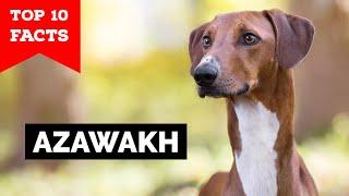 Azawakh Dog  Top 10 Facts