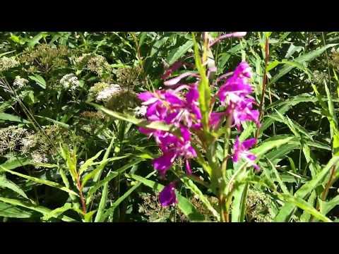 Как растет Иван-Чай (Кипрей узколистный) How Fireweed (Epilobium Angustifolium) grows