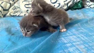 милые серые котята