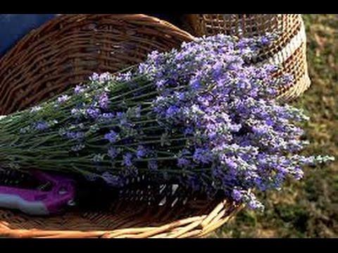 Chappell Hill Lavender Farm, Texas