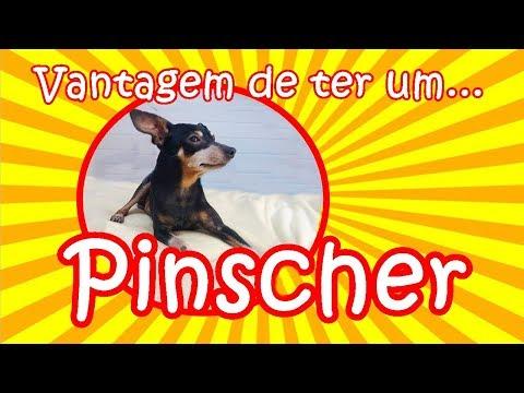 Tudo sobre Pinscher VANTAGEM DE TER UM | Tudo sobre a raça Pinscher #petcarol #torodepalpite