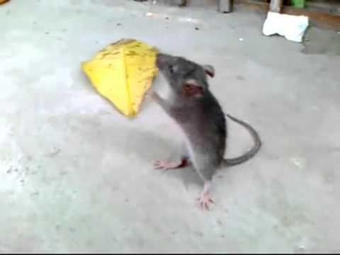 YouTube   Chuột cắn nhầm thuốc lắc   YuMe vn flv