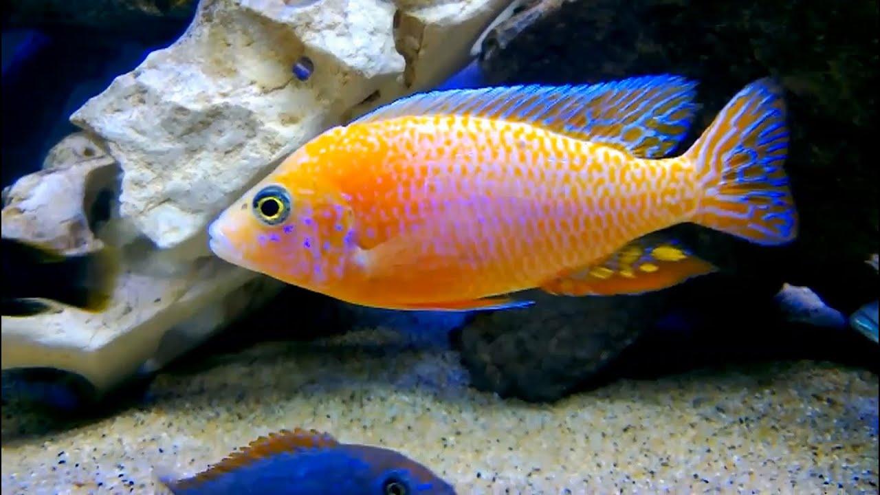 Aquarium vissen  Tropische zoetwater vissen in aquarium compilatie met verschillende vissoorten