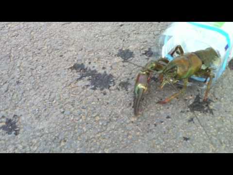 Crayfish Penyfan Pond Crawfish