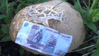 Белый гриб - очень крупный вид березовый растет до 5 килограммов