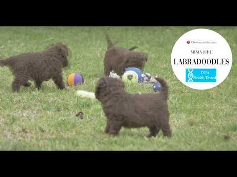 Chevromist Kennels Puppies Australia   Professional Dog Breeders