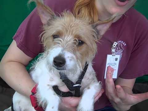 A4836824 Babe Jack Russell Terrier Mix Youtube