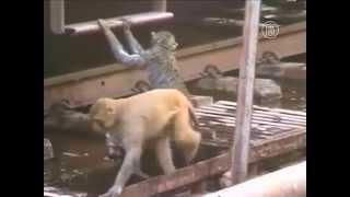 Одна обезьяна реанимирует другую. Душещипательная сцена