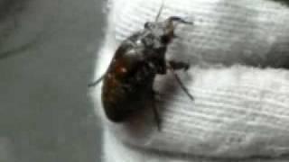 セミの幼虫が土の中から出てきたのを偶然見つけました。動いているのは...