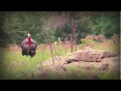 Kansas Turkey Hunt: Last Longbeard  (#185) @GrowingDeer.tv