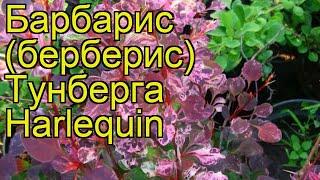 Барбарис тунберга Арлекин. Краткий обзор, описание характеристик berberis thunbergii Harlequin