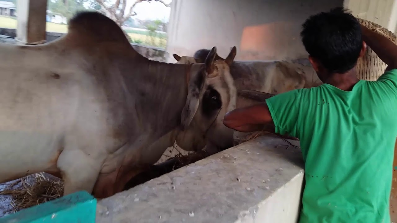 innovative design 2081b 21f40 Procedure of Artificial Insemination in Cows Near Me   Artificial Breeding  Center