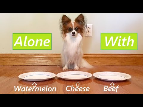 Leaving My Dog Alone With Food! Percy the Papillon Dog