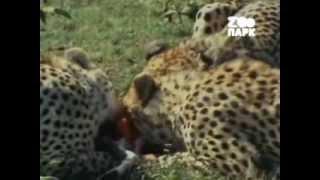 Рождённые убивать! Хищники африканской саванны