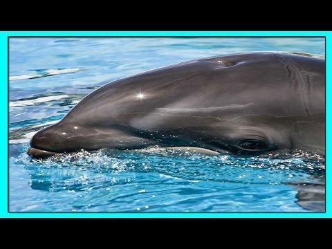 КОСАТКОДЕЛЬФИН Гибрид Самки Дельфина из Рода Афалины с Самцом Малой Чёрной Косатки.