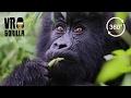 Meet The Mountain Gorillas (360 VR Video
