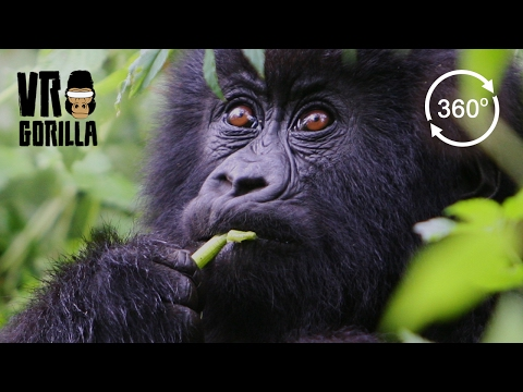Meet The Mountain Gorillas (360 VR Video 4k)