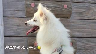 Japanesespitz Lemon  <遊具で遊ぶ> わたちレモン  白もふ犬の白もふ ...