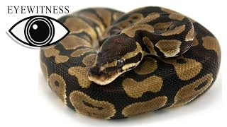 EYEWITNESS | Reptile
