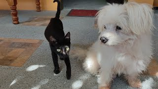 Maltese Dog Gets Too Excited As He Welcomes Owner Home  Playful Barking Dog