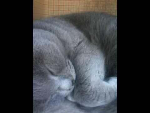 Chartreux cat snoring