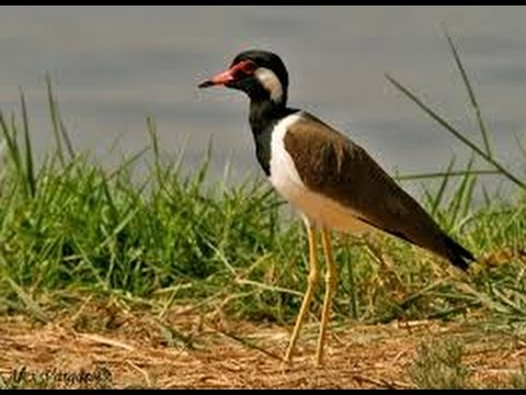 Red-wattled Lapwing - टिटहरी