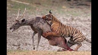 Top 10 Tiger Attacks