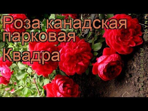 Роза канадская парковая Квадра 🌿 роза Квадра обзор: как сажать саженцы розы Квадра