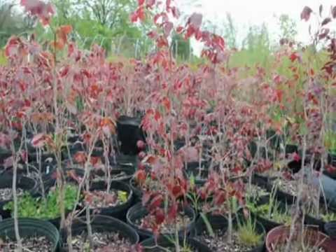 European Copper Beech  Potted 3 ft Trees