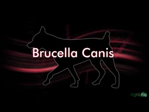 How to Prevent Brucella Canis - TvAgro By Juan Gonzalo Angel