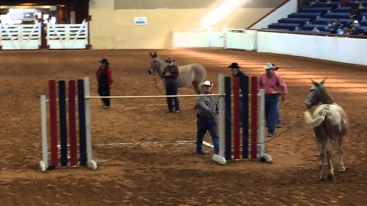 Radar 23 Y O Missouri Mule Breaking Her Own Coon Jumping