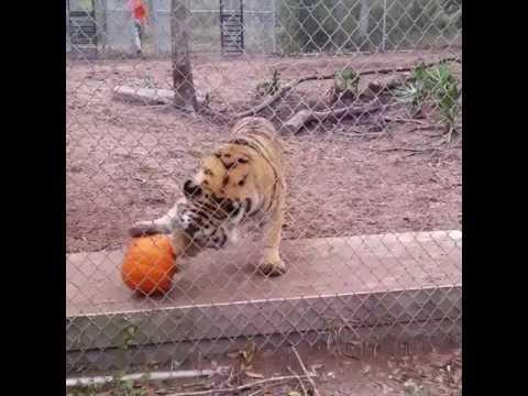 Tiger Jacksonville