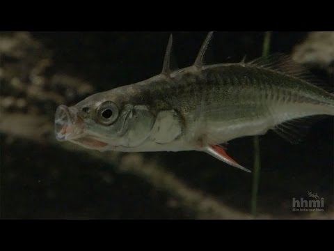 Making Of The Fittest: Evolution Of The Stickleback Fish — HHMI BioInteractive Video