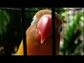 Lovebird Balibu Prospek Masa Depan Cerah  Mp3 - Mp4 Download