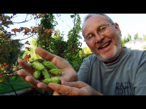 HBW 111: All things Hops! Hop lines and rig, picking, drying, and vacuum sealing