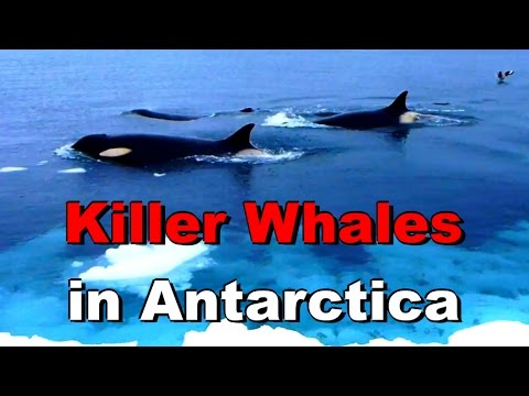 Killer Whales (orcas) on the Ice Edge of McMurdo Sound, Antarctica