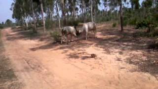 Caw fight in Rampur forest.
