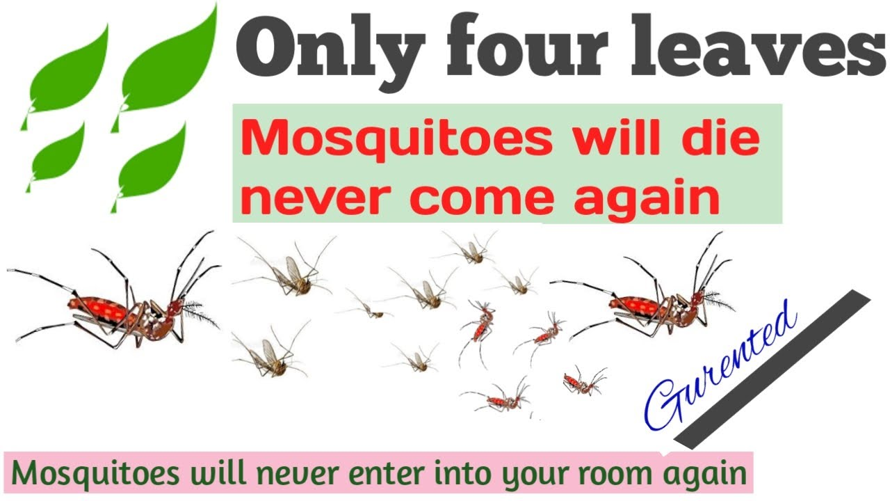 what plant can kill mosquito