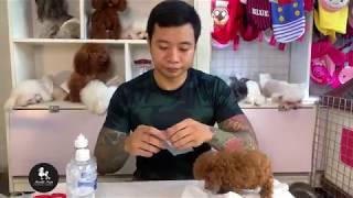 Cách Chăm Sóc chó Poodle || Cách chữa các bệnh hát xì - sổ mũi cho chó Poodle
