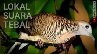 zebra dove singing mp3