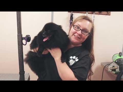 Grooming a Pomeranian (keeping it long)