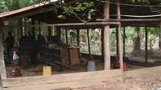 Entrega de 500 pollas ponedoras en la finca El Paraíso - Acacías, Meta