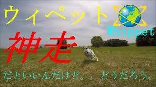 今回はゆる~くお散歩動画です。 ウィペットの走りはやっぱり美しいです...