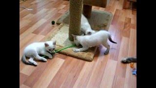 Как трое котят терзают одну дразнилку! Смотреть всем! Тайские кошки - это чудо! Funny Cats